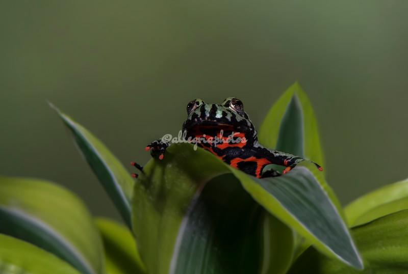 Fire-bellied Frog