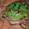 Pac-Man Frog