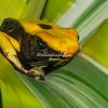 Orange-banded Dart Frog