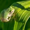 Copes Grey Tree Frog, St Louis, Missouri, USA