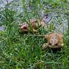 American Toads