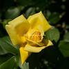 Eternal Flame Hybrid Tea Rose at Peggy Rockefeller Rose Garden, New York Botanical Garden