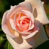 Francis Meilland Rose, Peggy Rockefeller Rose Garden, New York Botanical Garden