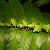 Diplasium Proliferum, New York Botanical Garden, New York