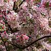 Cherry Blossom, Vivary Park, Somerset, England