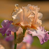 Iris, Botanical Garden