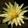 "New York Botanical Garden, Water Lily, ""Eldorado"""