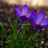 Crocuses in the spring