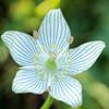 Grass of Parnassus flower in bog, Upper Peninsula, Michigan