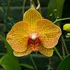 Moth orchid, New York Botanical Gardens, New York