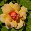 Grace Shrub Rose, Peggy Rockefeller Rose Garden, New York Botanical Garden