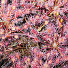 Sundew flowers in the bog, covered with morning dew, Upper Peninsula, Michigan