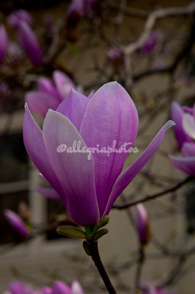 Magnolia blossom, Brooklyn Botanical Gardens March 2012