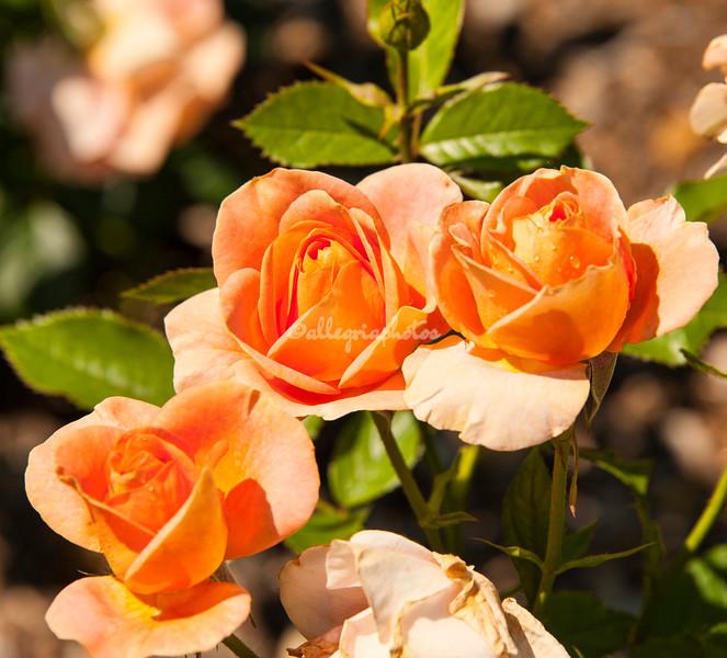Bengali Roses at Peggy Rockefeller Rose Garden, New York Botanical Garden