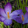 A raindrop-covered spring crocus