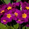 Purple Primroses in bloom, Vivary Park, Somerset, England