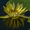 "New York Botanical Garden, Water Lily, ""Gladstoniana"""