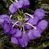 Rainbow Orchid, New York Botanical Garden, New York