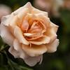 New York Botanical Garden,  Flowering Rose