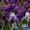 A bed of irises