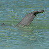 Bottle-nosed Dolphin swimming along the shallow waters of the Gulf Coast, Captiva Island, Florida, USA