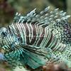 Scorpion Fish, Birch Aquarium, La Jolla, California