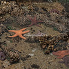 Starfish in a Pool, Samoa Island, Humboldt bay, California