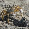 Ghost Crab on the beach, Captiva Island, Florida, USA