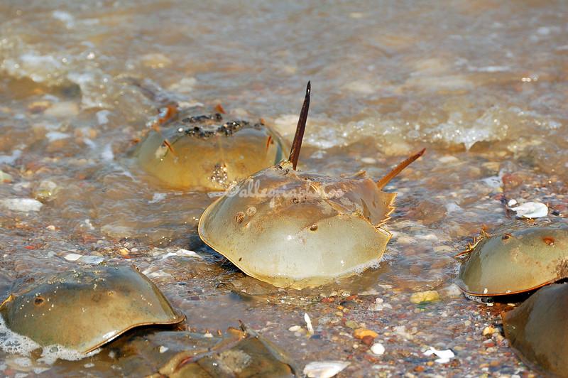 Horseshoe crabs on the beach