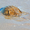 Horseshoe crab in the sand