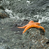 Starfish on a rock, Humboldt Bay, California
