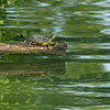Green Turtle, Forest Park, St Louis