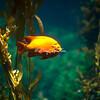 Garibaldi Fish, Birch Aquarium, La Jolla, California
