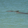 Bottle-nosed Dolphins swimming along the shallow waters of the Gulf Coast, Captiva Island, Florida, USA