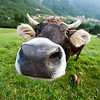 A close encounter with a cow