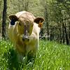 California grazer, Grass fed beef in the Sierras