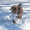 Brown Labrador playing in the snow, Riverside Park, New York City, USA