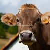 A curious cow, Italy