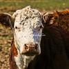 A curious cow