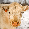White cow in the snow