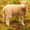 A spring lamb in Broadclyst, Devon, England