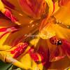 Ladybug on tulip petal