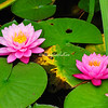 Pink. Water lilies