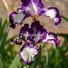 Iris,
