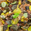Autumn leaves, Leith Hill, Surrey, England