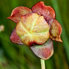 Pitcher flower