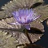 "New York Botanical Garden, Water Lily, ""Bagdad"""