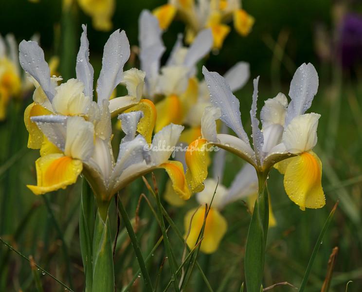 Yellow and white irises