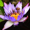 Water lily and bug