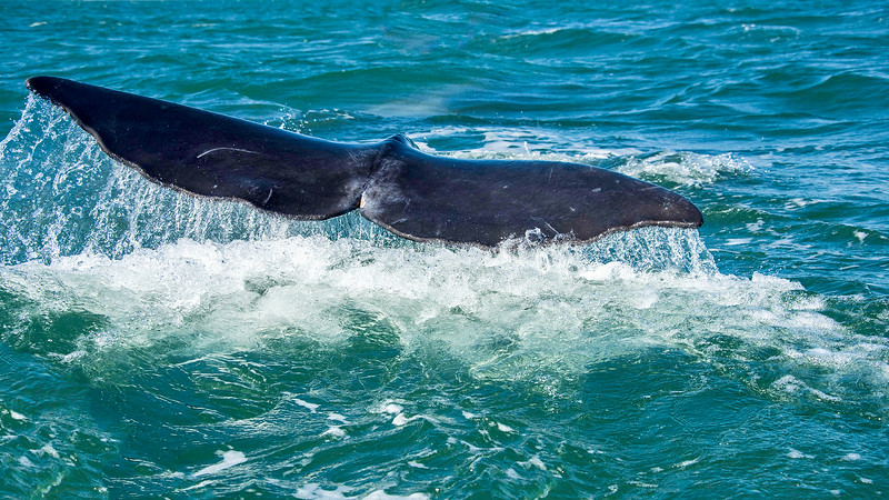 The Great Gray Whales of Baja, Mexico
